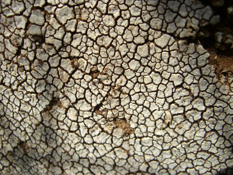 Close-up photo of white cracked fungus on a log.