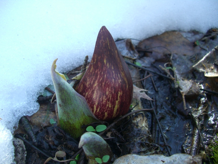 Photo of Eastern skunk cabbage emerging.