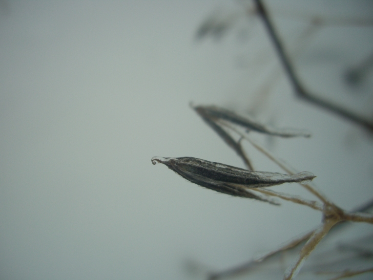 Photo of aniseroot or sweet cicely seeds covered with ice.