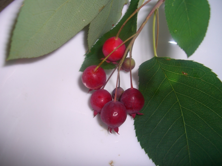 Photo of serviceberries with leaves