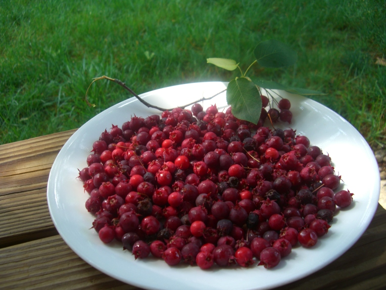 Photo of a plate of serviceberries