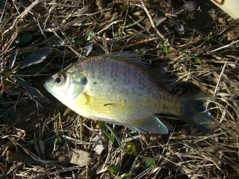 Photo of panfish, probably bluegill.