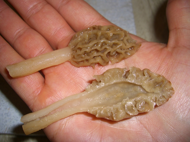 Photo of the inside of a morel.