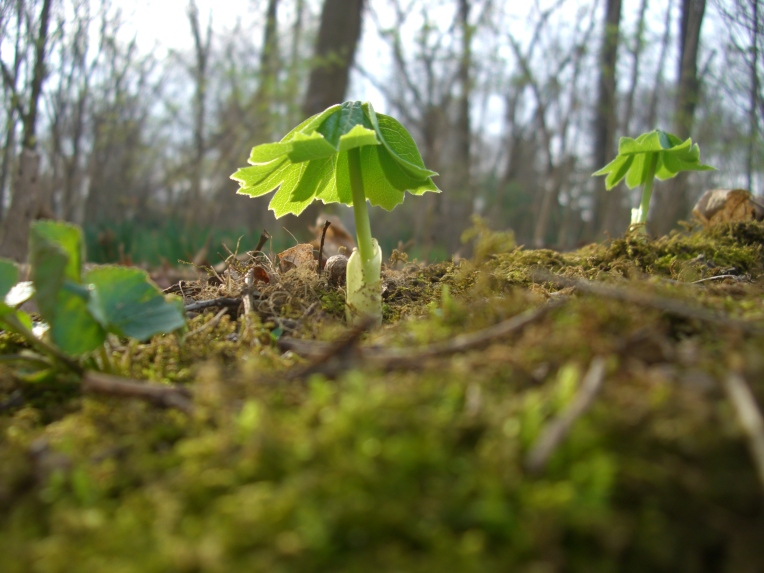Photo of newly emerged mayapple plant.