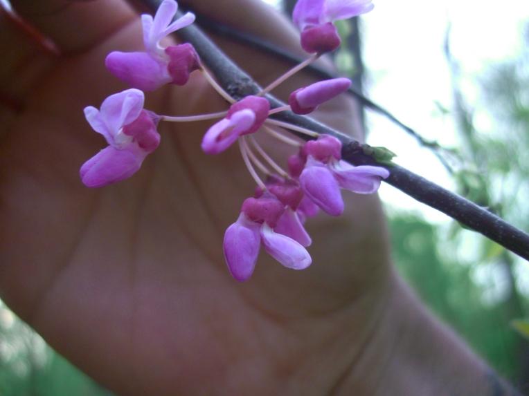 Photo of flowers on redbud tree.