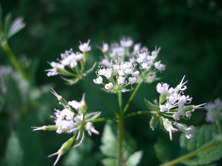 Photo of aniseroot flowers in early May.