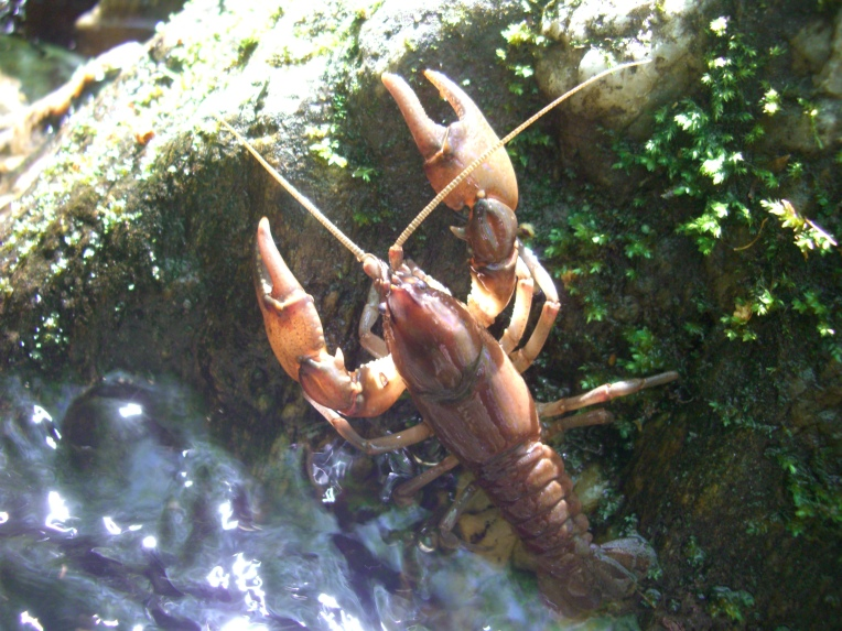 Photo of a crayfish.