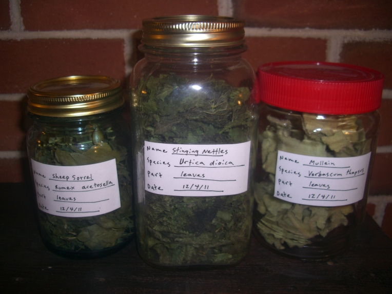 dried Sheep sorrel, nettle, and mullein leaves stored in jars.