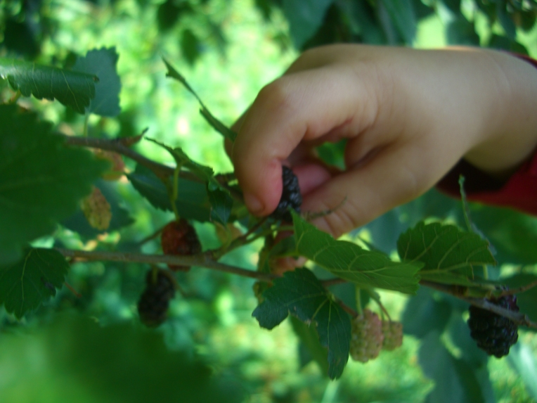 My son picking mulberries (Morus spp).