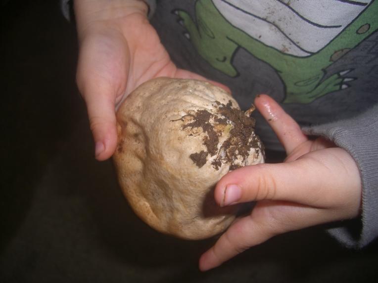 My son holding a puffball (Calvatia or Lycoperdon spp.) mushroom.