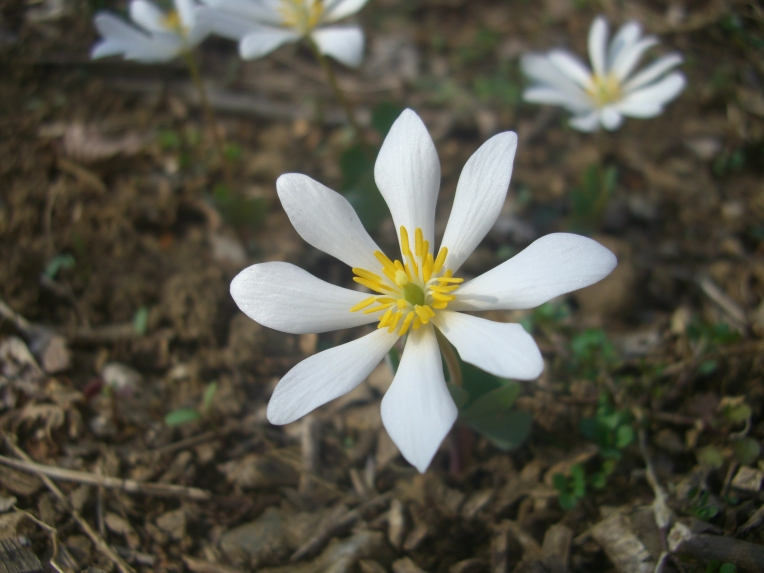 Photo of bloodroot flower blooming.